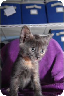 Domestic Shorthair Kitten for Sale in New York, New York - Yukari