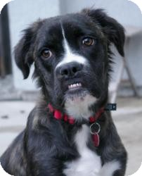 Boxer/Border Collie Mix Dog for Sale in Sacramento, California - Shelby