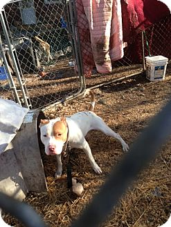 American Pit Bull Terrier/American Bulldog Mix Dog for Sale in Wanaque, New Jersey - RUGER