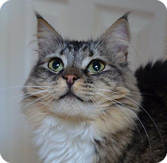 Maine Coon Cat for Sale in Vacaville, California - Tulula