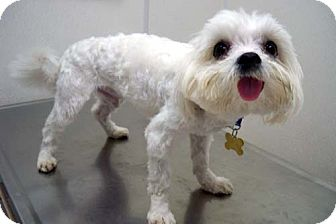 Maltese Dog for Sale in Los Angeles, California - CRENSHAW
