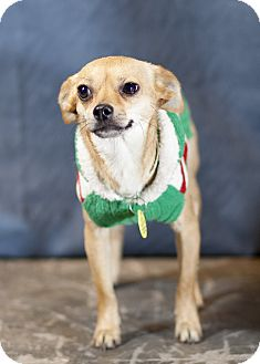 Chihuahua Mix Dog for Sale in Westminster, Colorado - Mindy