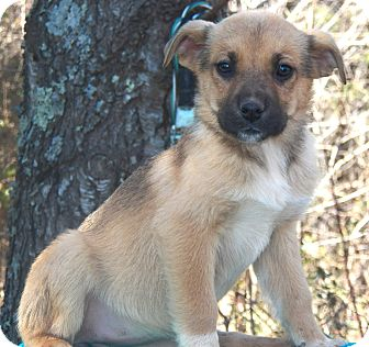 Shepherd (Unknown Type)/Labrador Retriever Mix Puppy for Sale in Sussex, New Jersey - Aspen