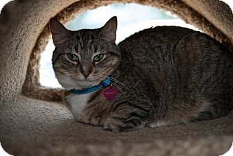 Domestic Shorthair Cat for Sale in Grand Rapids, Michigan - Dhalia