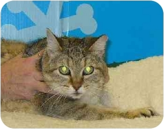 Domestic Shorthair Cat for adoption in Dallas, Texas - Zoe