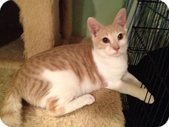 Domestic Shorthair Cat for Sale in East Hanover, New Jersey - Milky Way - Lap Kitty