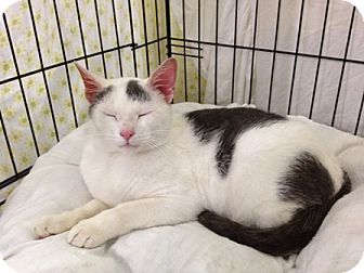 Domestic Shorthair Cat for adoption in Speonk, New York - Vaughn