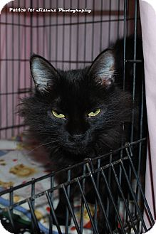 Domestic Mediumhair Cat for Sale in Lincoln, Nebraska - Wanda