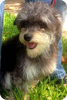 Poodle (Miniature)/Terrier (Unknown Type, Small) Mix Dog for Sale in Porter, Texas - Louie
