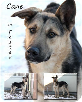 Shepherd (Unknown Type) Mix Dog for Sale in Winnipeg, Manitoba - Cane