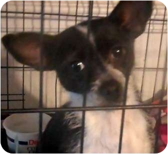Chihuahua/Papillon Mix Dog for Sale in Big Stone Gap / Wise, Virginia - Daisy Mae