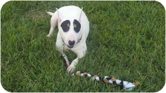 Bull Terrier Dog for Sale in Houston, Texas - Rebecca