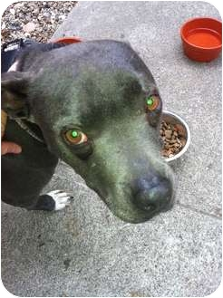 American Pit Bull Terrier Mix Dog for adption in Los Angeles, California - Sheba - FOSTER NEEDED!