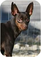 Miniature Pinscher Dog for adption in Columbus, Ohio - Presley