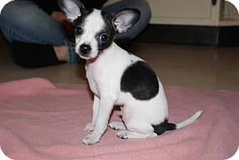 Chihuahua Mix Puppy for Sale in Medford, Massachusetts - Petey