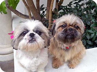 Shih Tzu Mix Dog for Sale in Los Angeles, California - JEWEL & JOLI