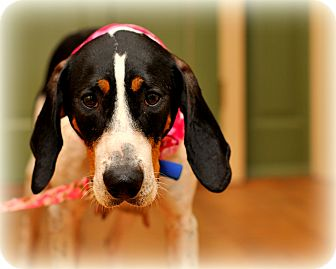 Treeing Walker Coonhound Mix Dog for Sale in Sparta, New Jersey - Wendy