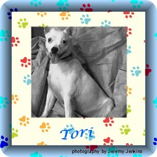 Akron, OH - French Bulldog/Chihuahua Mix. Meet Tori a Dog for Adoption ...