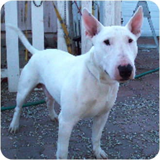 Bull Terrier Dog for Sale in Los Angeles, California - Sonic