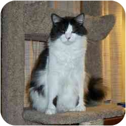Domestic Mediumhair Cat for adoption in Sacramento, California - Oreo