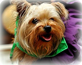Yorkie, Yorkshire Terrier/Brussels Griffon Mix Dog for Sale in Sparta, New Jersey - Toby