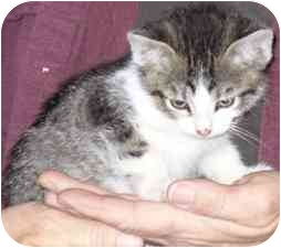 American Shorthair Cat for adoption in Fayette, Missouri - Ingmar