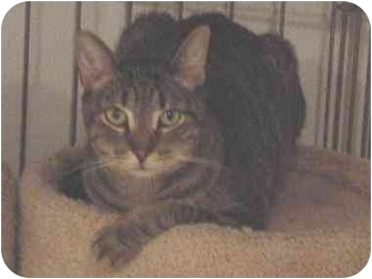 Domestic Shorthair Cat for adoption in Union Lake, Michigan - Scout>^.,.^< $35 adoption