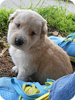 Golden Retriever/Husky Mix Puppy for Sale in Torrance, California - TITUS