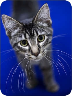 Domestic Mediumhair Kitten for adoption in Chicago, Illinois - Bonder