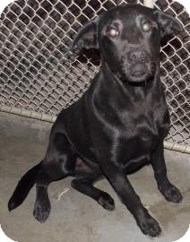 Labrador Retriever Mix Puppy for Sale in Shirley, New York - Moses