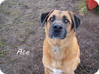 Shepherd (Unknown Type) Mix Dog for Sale in Hamilton, Montana - Ace