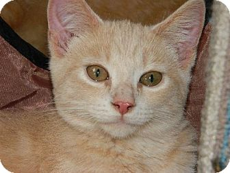 American Shorthair Kitten for adoption in Elizabeth City, North Carolina - Creamy