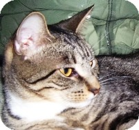 Domestic Shorthair Cat for Sale in Albany, New York - Bridget