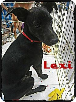 Plott Hound/Rat Terrier Mix Dog for adption in Silsbee TX, Texas - Lexi