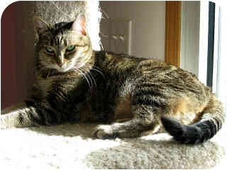 Domestic Shorthair Cat for adoption in Powell, Ohio - Tasha
