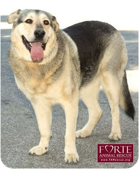German Shepherd Dog/Alaskan Malamute Mix Dog for adption in Marina del Rey, California - Henry