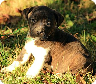 Boxer/Terrier (Unknown Type, Medium) Mix Puppy for Sale in Allentown, Pennsylvania - Chance