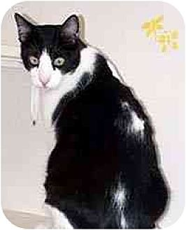 Domestic Shorthair Cat for adoption in Clovis, New Mexico - Rocco