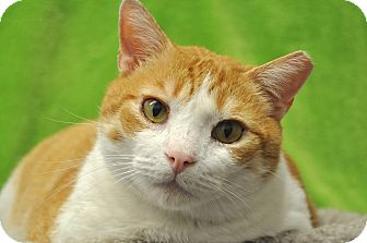 Domestic Shorthair Cat for Sale in Foothill Ranch, California - Stevey