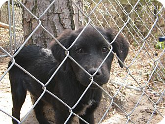 Border Collie Mix Puppy for adption in manasquam, New Jersey - Corona