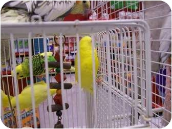 Budgie for Sale in Shawnee Mission, Kansas - Prince