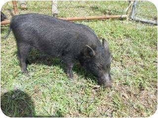 Pig (Potbellied) for adoption in Palm City, Florida - Runt