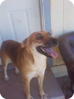 Shepherd (Unknown Type) Mix Dog for adption in Queen Creek, Arizona - Penny