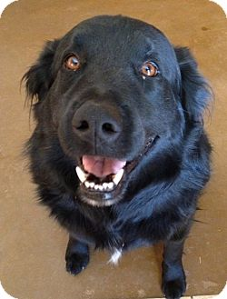Flat-Coated Retriever Dog for Sale in Phoenix, Arizona - Jesse