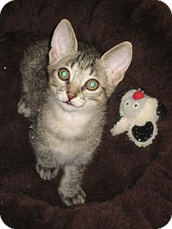 Domestic Shorthair Kitten for Sale in Fountain Hills, Arizona - ISAAC