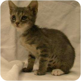 Domestic Shorthair Kitten for Sale in Gainesville, Florida - Sammy