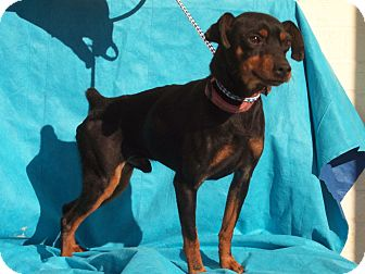Miniature Pinscher Dog for Sale in Germantown, Maryland - Luke