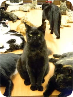 Domestic Shorthair Cat for adoption in Naples, Florida - Licorice