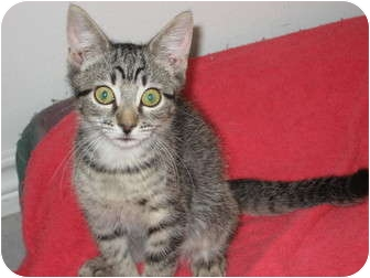 American Shorthair Cat for Sale in Huffman, Texas - Megan