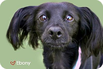 Papillon/Spaniel (Unknown Type) Mix Dog for adption in West Hollywood, California - Ebony - looking for a COMPASSIONATE home! videos